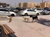 """بالصور.. """"كلاب ضالة"""" تنتشر عند بوابة طلاب السنة التحضيرية بجامعة الفيصل"""