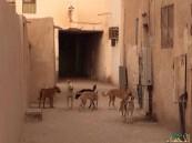 بالفيديو والصور… في#الأحساء الكلاب تدنس المساجد وتغزو الشوارع في مشهد عجيب!