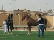 بالصور.. مهرجان الخيول في ثانوية ذات الصواري بالكلابية