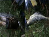 مشهد مرعب.. ثعبان يبتلع جثة رجل كاملة في حديقة منزله!!