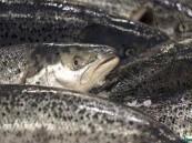 حظر استيراد الأسماك من مصر و الفصيلة الخيلية من 3 دول