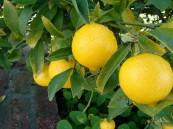 """10 فوائد """"سحرية"""" لعشبة """"بلسم الليمون"""""""