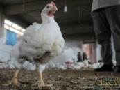 """""""البيئة"""": 3 إصابات جديدة بإنفلونزا الطيور في الأحساء والدمام والدرعية"""