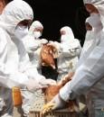 إعدام 92 ألف دجاجة في اليابان… بسبب انفلونزا الطيور