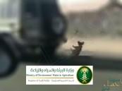 """""""البيئة"""" تشهّر بمواطن وتغرّمه 30 ألف ريال بعد سحله ثعلباً بسيارته !!"""
