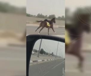 شاهد في الأحساء: مطاردة غريبة لحصان هارب ومواطن يقفز من سيارته للإمساك به!!