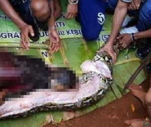 """""""ابتلعتها من رأسها"""".. فيديو لحظة استخراج المرأة الإندونيسية من بطن الحية !!"""