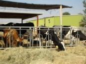 رفع الحظر عن الأبقار بعد شفائها من «القلاعية»