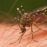 Mosquito_Tasmania_crop-1024x561