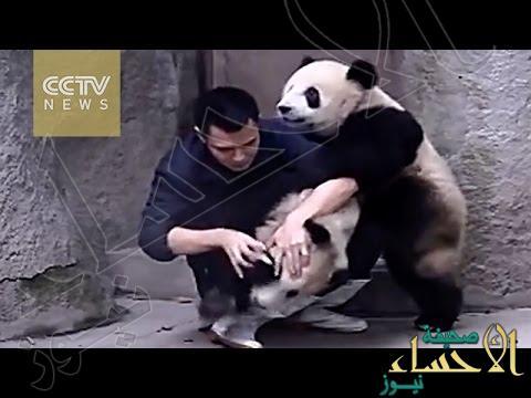 بالفيديو … دب يحمي صديقه من إبرة في حديقة الحيوانات