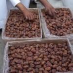 مسؤول : زراعة شجرة النخيل في الأحساء أمن غذائي