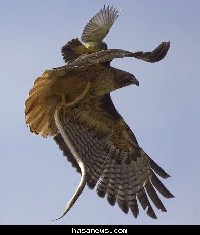 معركة في الهواء: طير صغير ينقض على صقر كبير ليحصل على حصته من الغنيمة (الافعى)