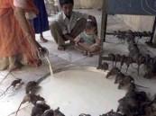 قرية هندية تعبد 20 ألف فأر