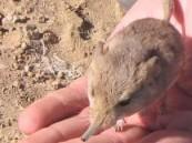 بالصور .. العثور على فأر يشبه الفيل في صحراء ناميبيا
