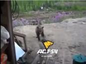 فيديو: رجل يصور مقتله على يد دب غاضب