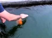 بالفيديو … صداقة بين انسان وسمكة