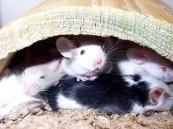 أمريكي يطلب المساعدة في رعاية 300 فأر يعيشون في منزله