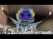 بالفيديو … العنكبوت الطاووس