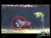 بالفيديو .. نمر يلتهم شاباً أمام أعين الجمهور