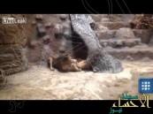 بالفيديو … أسد (غيور) يقتل لبؤة خانته