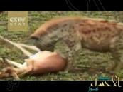 بالفيديو … غزال ذكي يتظاهر بالموت للفرار من ضبع جائع