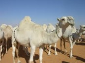 الزراعة تؤكد علاقة الإبل بفيروس كورونا.. والصحة تحذر من البيات الشتوي للفيروس