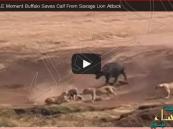 بالفيديو… جاموسة تنقذ صغيرها من أنياب 3 أسود