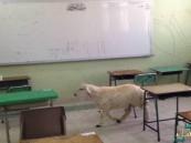 بالصورة … خروف يتجول في قاعة الاختبارات