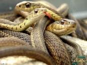 الثعابين تهاجم النساء خلال نومهن في أستراليا