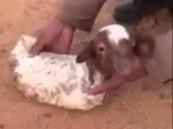 بالفيديو … ولادة نادرة لخروف بلا أطراف