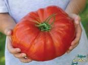 """احتاج إنتاجها 20 عاماً… بريطانيا تنتج أكبر ثمرة """"طماطم"""" في العالم"""