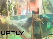 شاهد.. 59 صغيراً من أكبر الزواحف في العالم ترى نور الحياة في دبي