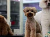 بالصور.. تسريحة كلب بـ 1200 دولار