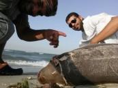 """بالفيديو والصور… #في الأحساء """"كارثة"""" تهدد انقراض """"حيوان نادر"""" على ساحل الخليج"""