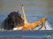 بالصور.. هرب الظبي من الكلاب البرية ليسقط بين أنياب فرسي نهر