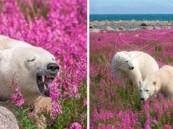 بالصور.. مصور يرصد لهو الدببة الكندية في فصل الصيف