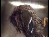 """بالفيديو…""""بطة مطبوخة"""" تشعل مواقع التواصل و تستنفر السلطات الكويتية"""