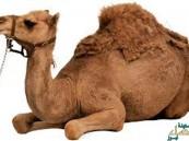 أكاديمي سعودي ينفي علاقة الإبل بفيروس كورونا
