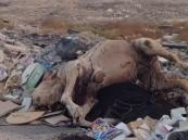 """بالصور… في #الأحساء: مشاهد كارثية لمحرقة الحيوانات على طريق """"الخليج"""" !!"""