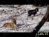 """شاهد..نمر يتخذ الماعز """"تيمور"""" صديقا بدلا من فريسة"""