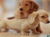 """إنجاب أول """"كلاب أنابيب"""" في العالم"""
