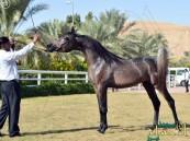 327 جوادًا تتنافس على بطولة أجمل الخيول العربية غداً بديراب