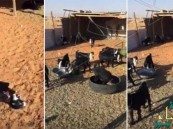 بالفيديو.. مواطن يصور أغنامه ويرسلها عبر واتسآب لأصدقائه ليعود ويُفاجأ بكارثة!