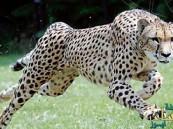 """وفاة """"سارة"""".. أسرع حيوان في العالم !"""