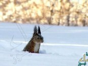 بالفيديو..شاهد سنجاب يبحث عن طعامه وسط الثلوج
