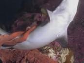شاهد .. أغرب فيديو لأخطبوط يبتلع سمكة قرش كاملة !!