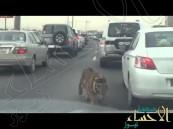 """شاهد.. """"نمر"""" سائب يتجول في شوارع """"الدوحة"""" !"""