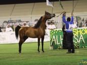 """٣٠٠ جواد عربي يتنافسون على """"الجمال"""" في بطولة #الأحساء الوطنية السابعة"""