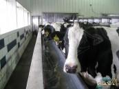 مرض وبائي خطير يحظر حركة الأبقار في #الأحساء !