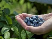 8 فوائد للتوت الأزرق أبرزها حماية القلب والمخ